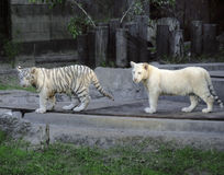 Two white tigers Stock Photo