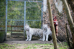 Two white tigers. Looking at the meat Royalty Free Stock Image