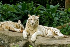 Two white tigers lying Royalty Free Stock Image