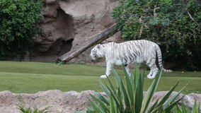 Two White Tigers In A Play stock video
