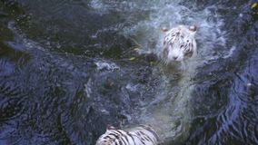 Two white tigers playing in the river.  stock footage
