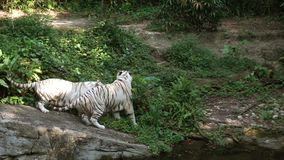 Two white tigers playing in the zoo.  stock video