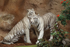 Two white tigers sitting next to flowers. A tiger couple siting next to red flowers Royalty Free Stock Photos