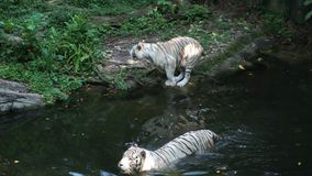 Two white tigers walking to the river.  stock footage