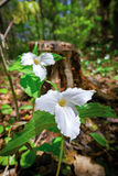 Two White Trilliums. White Trilliums growing on the forest floor. Trillium grandiflorum is the official emblem of the Province of Ontario and the State stock photos