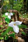 Two White Trilliums Stock Photos