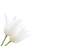 Two white tulips isolated on white Royalty Free Stock Image