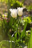 Two white tulips lit by sunlight. Soft selective focus, royalty free stock image
