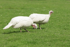 Two White Turkey Stock Photos