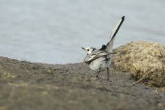 Two White Wagtail birds, Motacilla alba, fighting. Two White Wagtail birds Motacilla alba fighting over territory. A bird with white, gray and black feathers stock photo