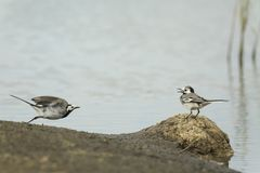 Two White Wagtail birds, Motacilla alba, fighting. Two White Wagtail birds Motacilla alba fighting over territory. A bird with white, gray and black feathers stock photography