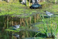 Two White Wagtails or Motacilla alba on swamp. White Wagtail or Motacilla alba. Wagtails is a genus of songbirds. Wagtail is one of the most useful birds. It royalty free stock image