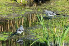 Two White Wagtails or Motacilla alba on swamp. White Wagtail or Motacilla alba. Wagtails is a genus of songbirds. Wagtail is one of the most useful birds. It royalty free stock images
