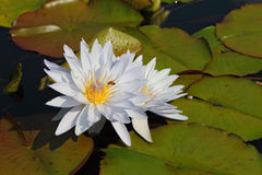 Two white water lilies. In large coriaceous leaves on a sunny day Stock Photos