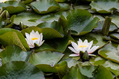 Two white water lilies on big green leaves in water space garden Royalty Free Stock Image