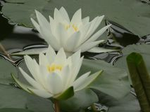 Two white water lilies. Floating on some lily Stock Photo