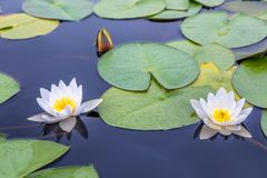 Two white water lilies with green leaves on the still lake surface royalty free stock image