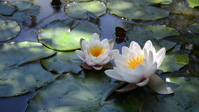 Two white water lilies stock video
