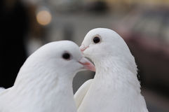 Two white wedding pigeons Royalty Free Stock Images