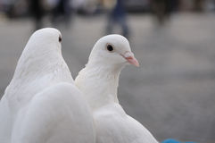 Two white wedding pigeons Royalty Free Stock Photo