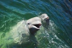 Two white whales Stock Photos
