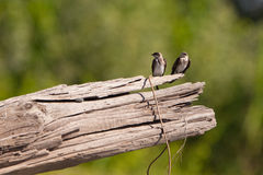 Two White-winged Swallows on a log. Royalty Free Stock Image