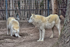 Two white wolf Stock Photo