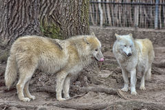 Two white wolf Royalty Free Stock Photography