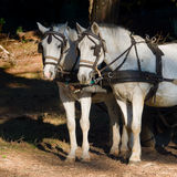 Two  white work horses with harnesses and blinkers  hitched to a. Two  white work horses  with harnesses and blinkers  hitched to a wagon. Dark background Royalty Free Stock Photos