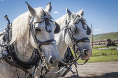 Two white work horses wearing their harnesses. Royalty Free Stock Images