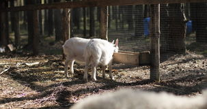 Two white young goats eat food outdoors on a farm. stock footage