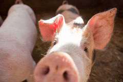 Two white young pigs Stock Photography