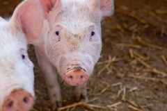 Two white young pigs Stock Photos