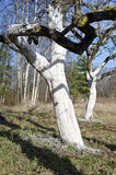 Two  whitened apple tree trunk in spring garden Stock Photography