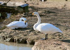Two whites gooses Royalty Free Stock Photos