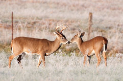 Two whitetail bucks Royalty Free Stock Images