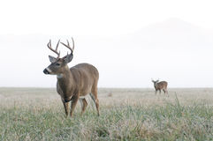 Two whitetail bucks on a frosty morning Stock Photography