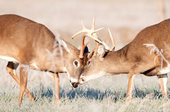 Two whitetail bucks sparring Stock Images