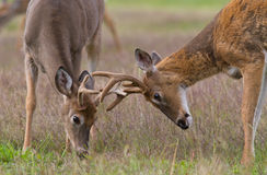 Two Whitetail Deer Bucks Royalty Free Stock Photos