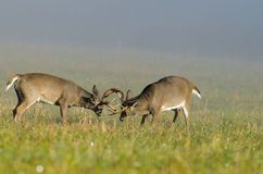 Two whitetail deer bucks sparring Royalty Free Stock Photo