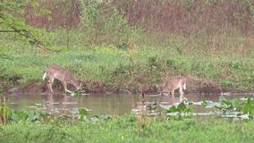 Two Whitetail Deer feeding on underwater plants. In a small lake during spring 2017 in Pennsylvania stock video