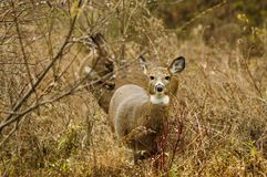 Two Whitetail Deer In A Meadow In Autumn, Five Rivers Environmental Center, Delmar, New York royalty free stock photo