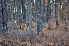 Two Whitetail Doe Deer Standing in the Woods Looking to the Right royalty free stock photo