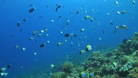 Two whitetip reef sharks on a coral reef. Two whitetip reef sharks swimming on a coral reef with butterflyfish, damselfish and snapper stock footage