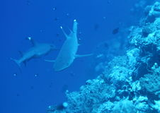 Two whitetip sharks Royalty Free Stock Photography