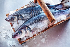 Two whole fresh Loup de Mer Royalty Free Stock Image