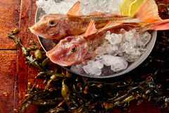 Two whole gurnard fish on ice in metal bucket. Close up on pair of whole bony raw red gurnard fish on ice ready with lemon slices in bowl to be prepared for Stock Image