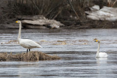 Two whooper swans (Cygnus cygnus) Royalty Free Stock Photos