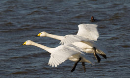 Two Whooper swans in flight Royalty Free Stock Images