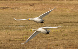 Two Whooper swans in flight Royalty Free Stock Photo